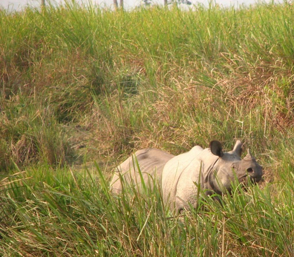 A One-horned Rhinoceros in Kaziranga National Park, Assam    Credit: Wikimedia Commons