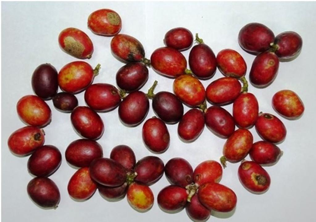 Freshly harvested blood fruits. Credit: India Science Wire