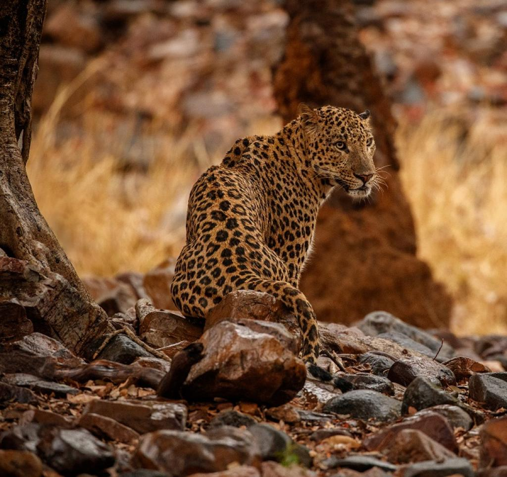A Leopard in the rain.   Credit: Getty Images