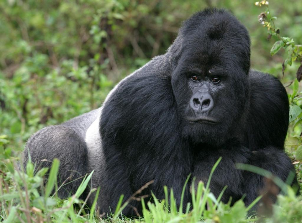 A silverback in Rwanda's Virunga mountains.   Credit: Getty Images