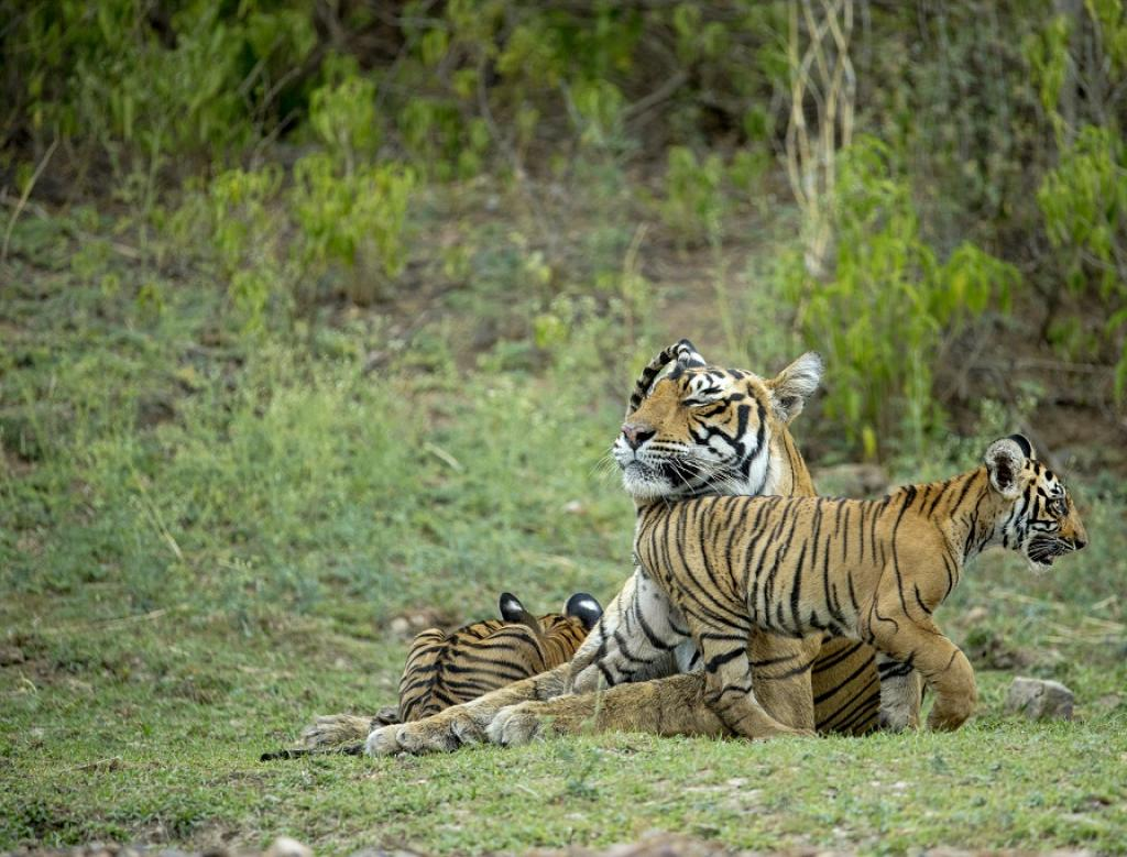 Representational photo of a tiger family.    Credit: Getty Images