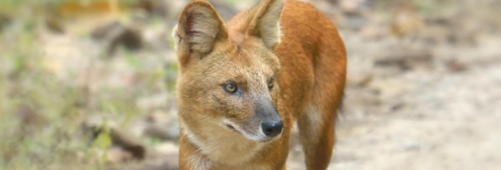 A Dhole. Credit: Getty Images