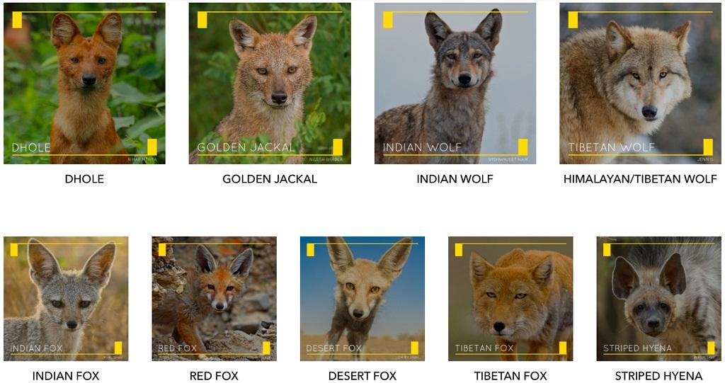 The 8 species of canids and the Striped Hyena, which the project is focussing on. Credit: Nihar Mehta; NileshBhadla; VishwajeetNaik; Jenn S.; Javal Shah; HussainReshamwala; Dhyey Shah; Ankur Shah