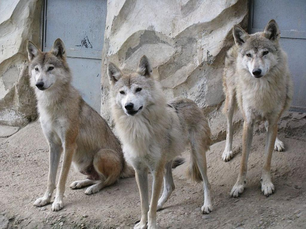 Three Himalayan wolves at the Padmaja Naidu Himalayan Zoological Park. Credit: Wikimedia Commons