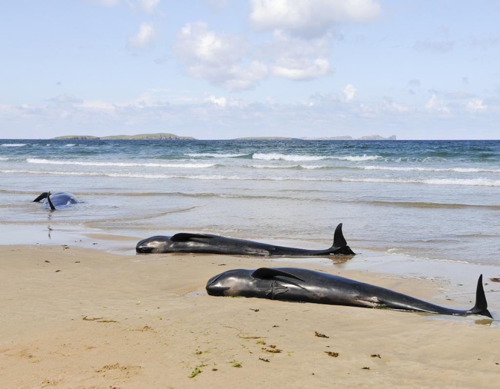 Pilot whales lie dead on a beach in Donegal, Ireland. Credit: Getty Images