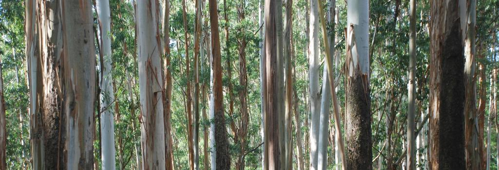 Alien plants species such as Eucalyptus have become a threat to India's Western Ghats.