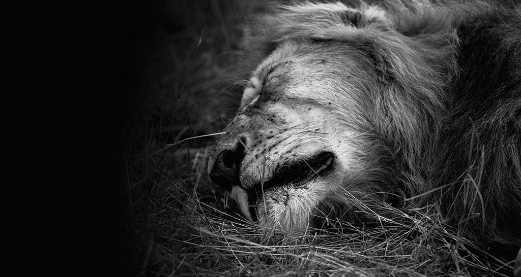 शेरों की मौत