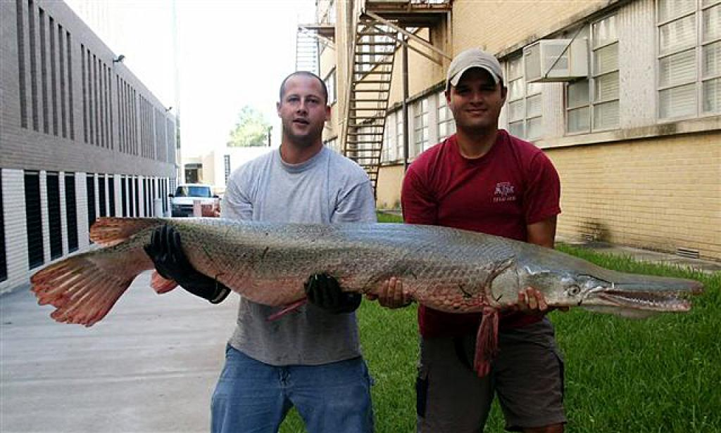 An Alligator Gar caught in Texas. Credit: Wikimedia Commons