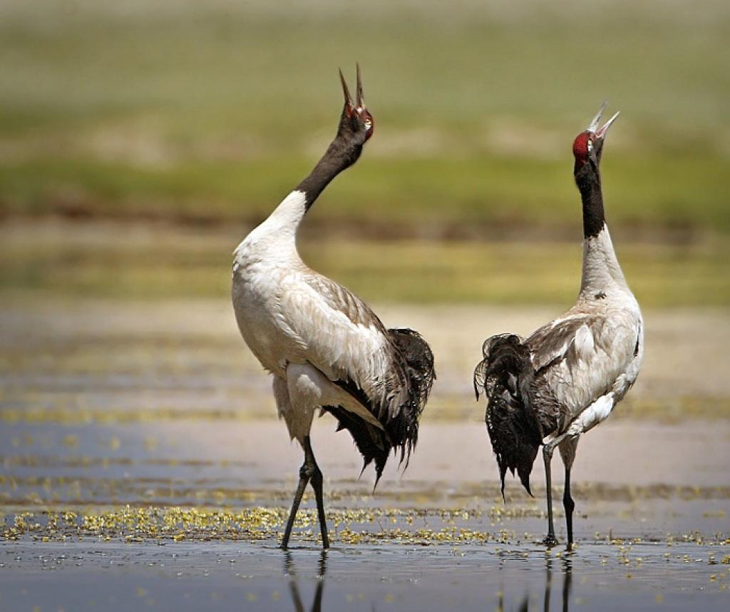 A pair of Black-necked cranes in Ladakh. Credit: Getty Images