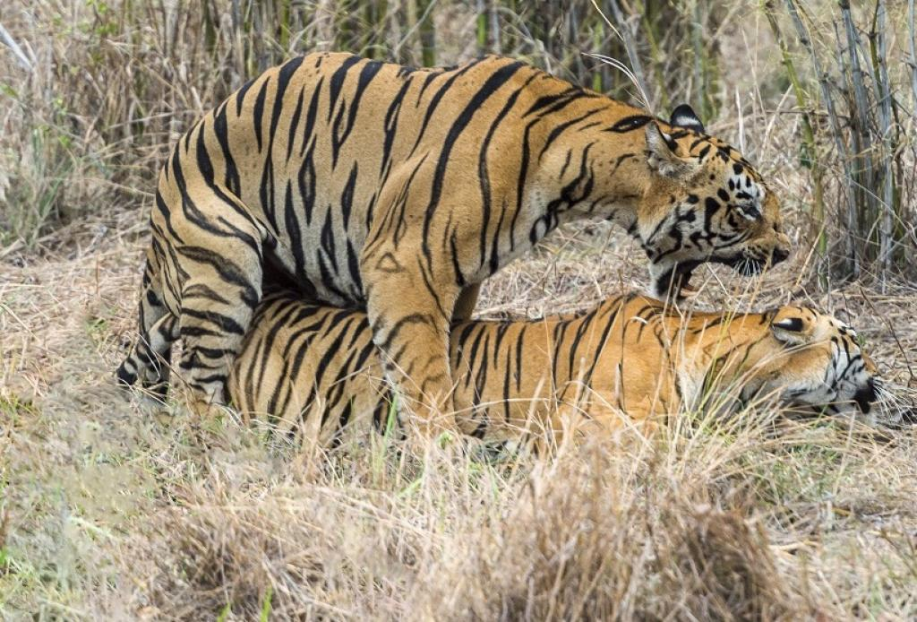 A tiger couple mating. Credit: Getty Images