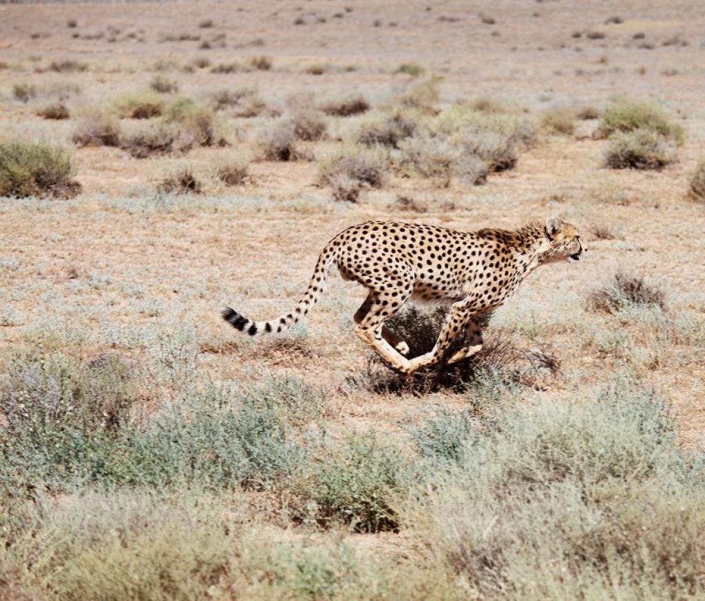 A sprinting Asiatic Cheetah in Iran. Credit: Getty Images