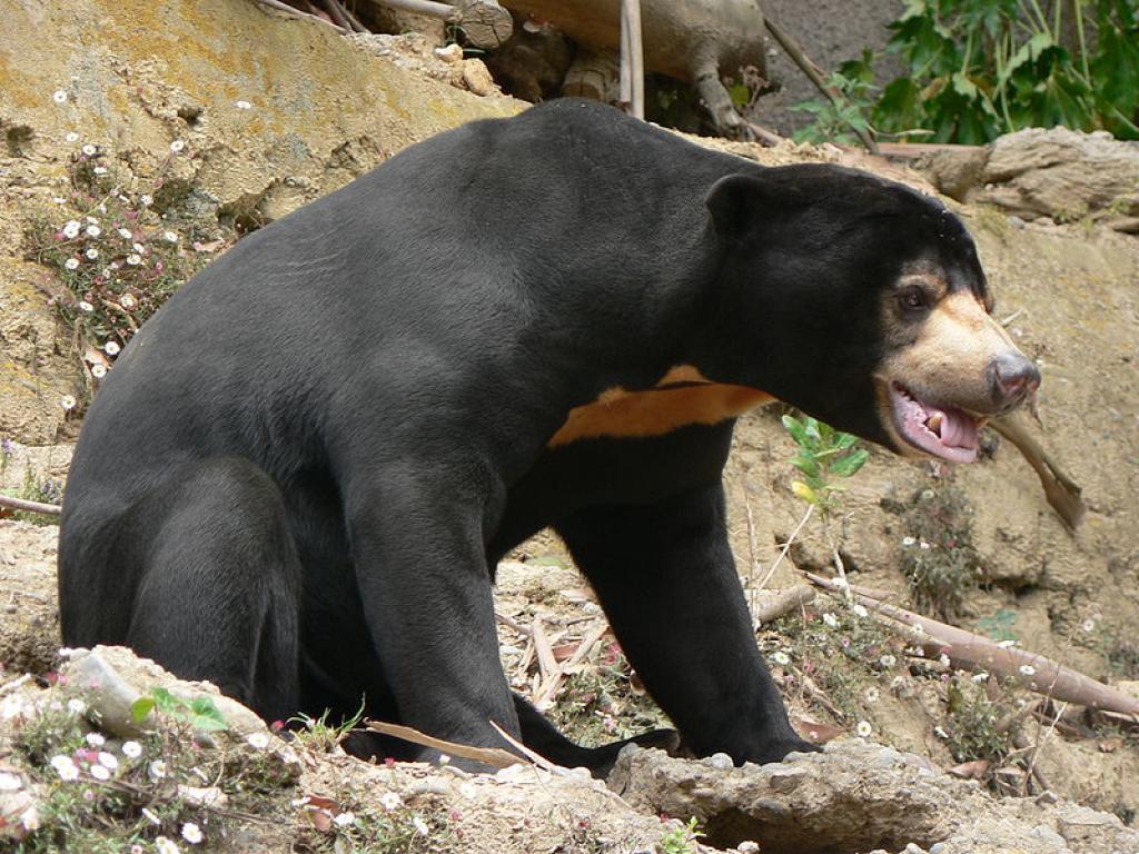 A sun bear. Credit: Wikimedia Commons