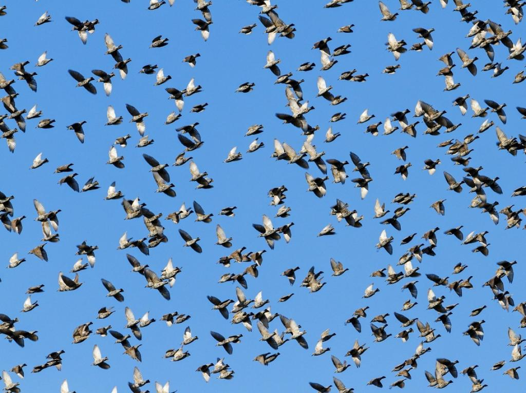 During winters, starlings arrive in several flocks above a (usually communal) roosting site which coalesces into a swirling mass of birds that twists and turns through the air.