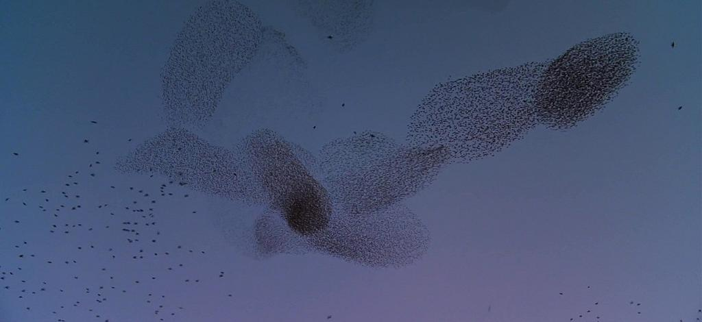 According to scientists, the change in the behavioural state of one bird affects and is affected by that of all other birds in the group, no matter how large the group is. Physicists call it 'scale-free correlation'. This is how a huge murmuration is able to respond to a predator attack as effectively and fluidly as a small flock. Pictured here is a murmuration in Rome, Italy.