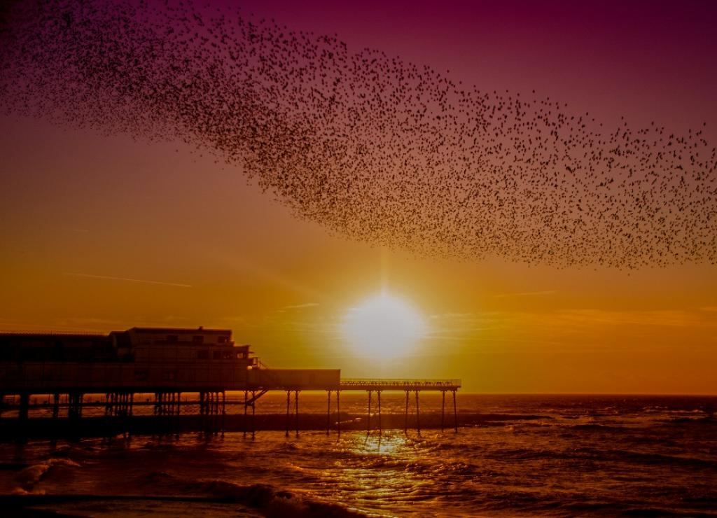 The various shapes these swarms make in the air are known as murmurations. It is believed that they are formed to help evade attacks from birds of prey. Pictured here is a murmuration in the Welsh town of Aberystwyth.