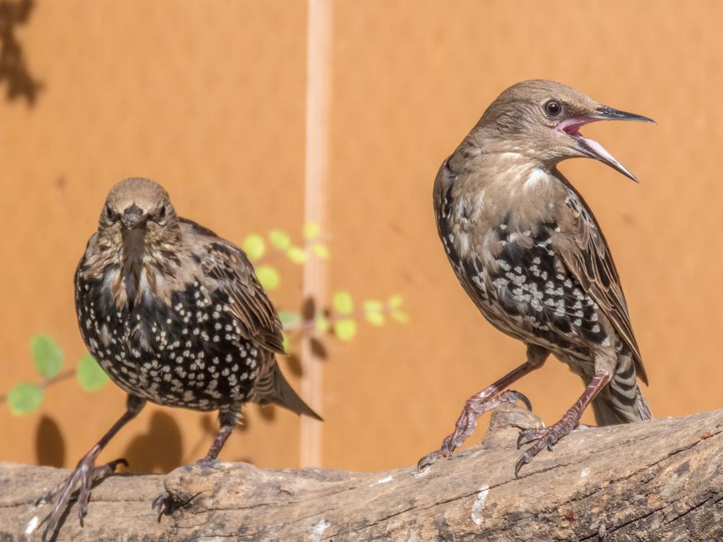 The starling is a medium-sized bird of the Sturnidae family. It is found in Europe, Asia and Africa.