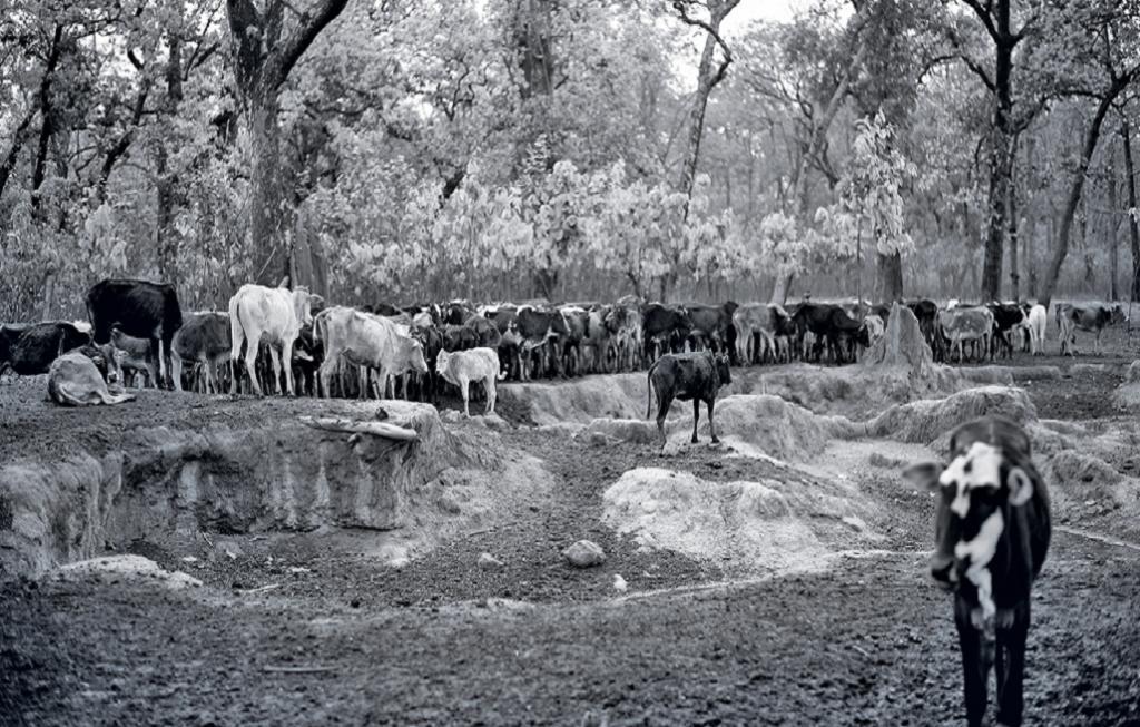 Cattle Economy