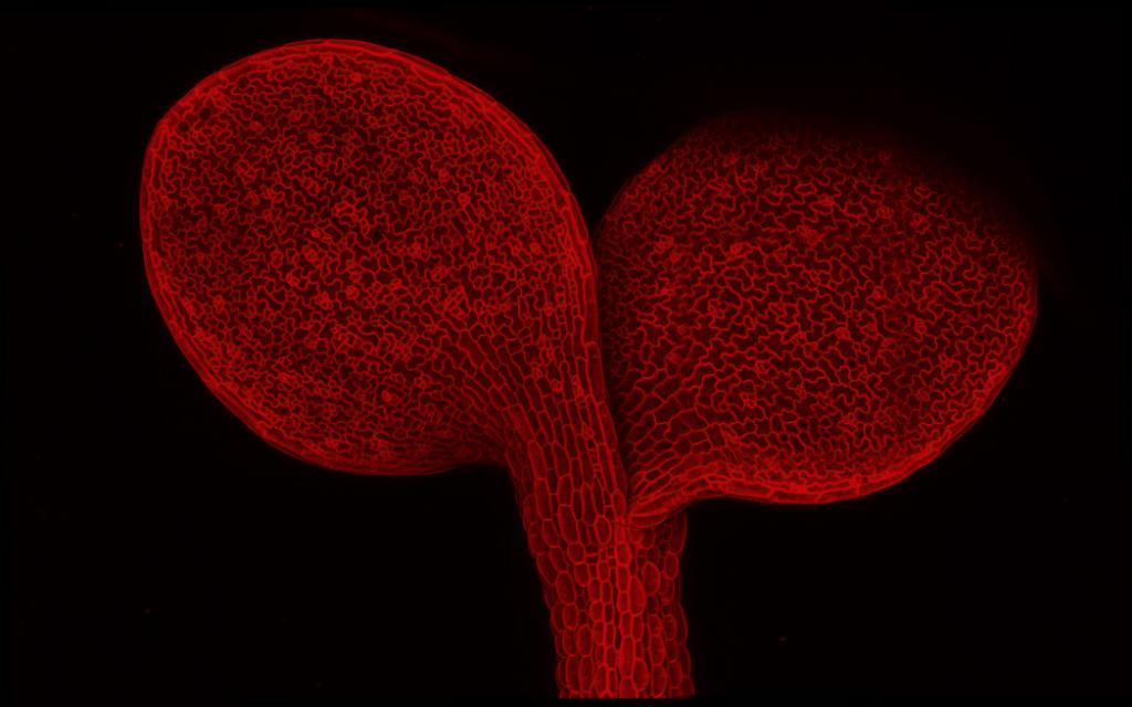A view through a microscope of a small flowering plant – specifically, a young, wild-type Arabidopsis thaliana seedling – with fluorescent protein marking the plasma membrane, as seen through a microscope. The Bergmann lab at Stanford studied how one hormone pathway in plants regulates the way leaves build their epidermal layer with the right number of breathing pores. Image credit: Anne Vatén