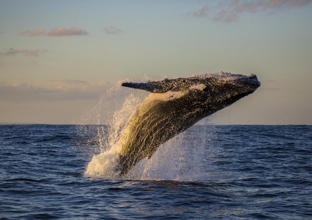 A Humpback whale breaches near Sydney, Australia. Credit: Getty Images