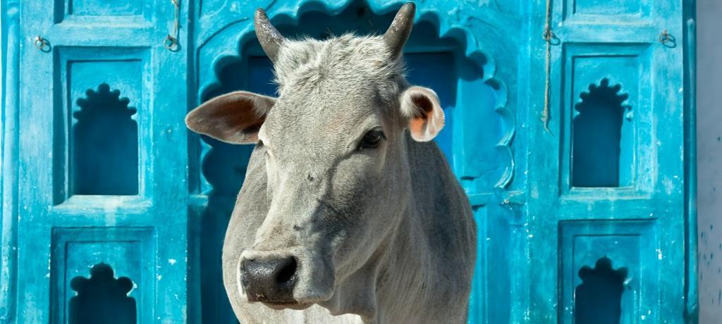 India's cow crisis