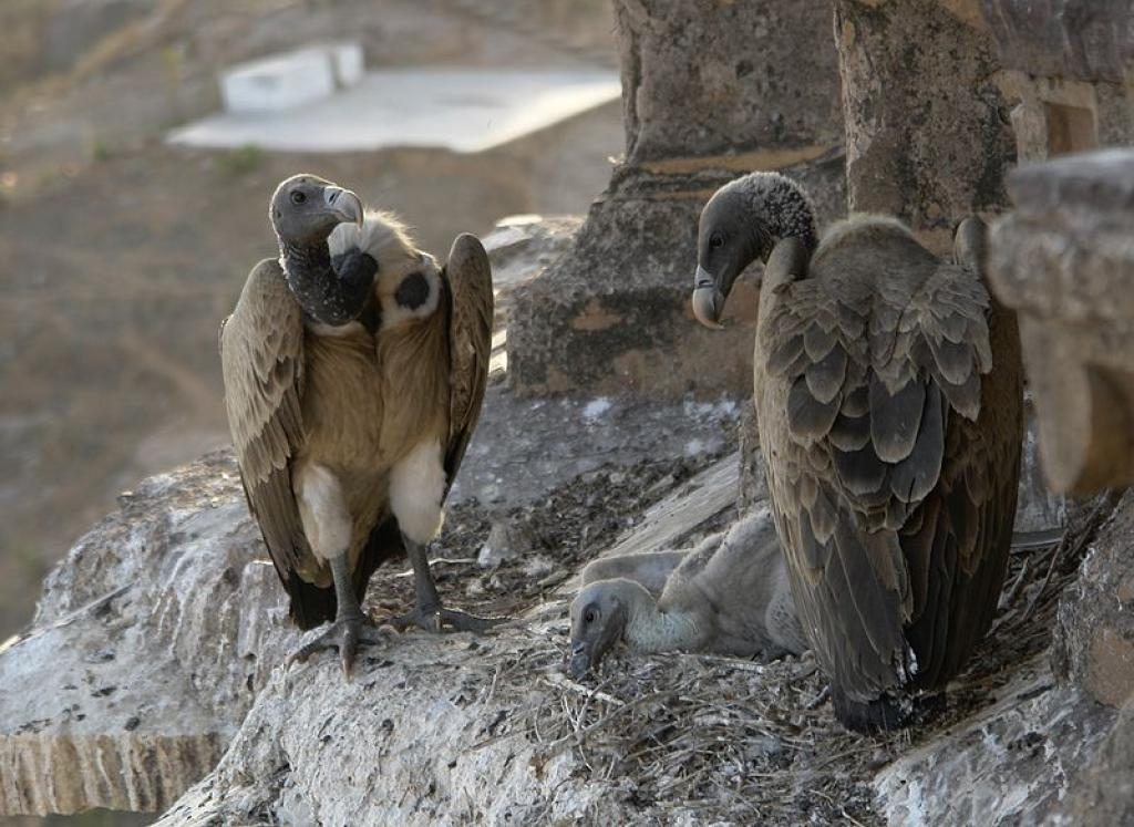 Vultures in the nest, Orchha, MP. Credit: Wikimedia Commons