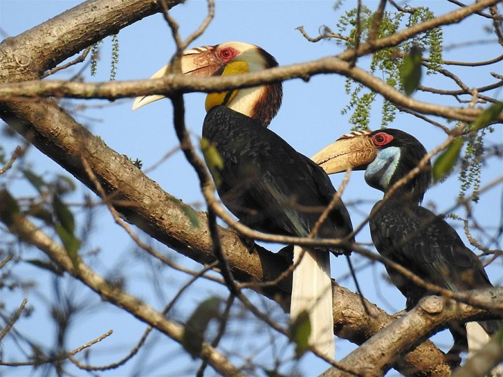 A pair of hornbills at the Pakke Tiger Reserve in Arunachal Pradesh. Credit: Wikimedia Commons