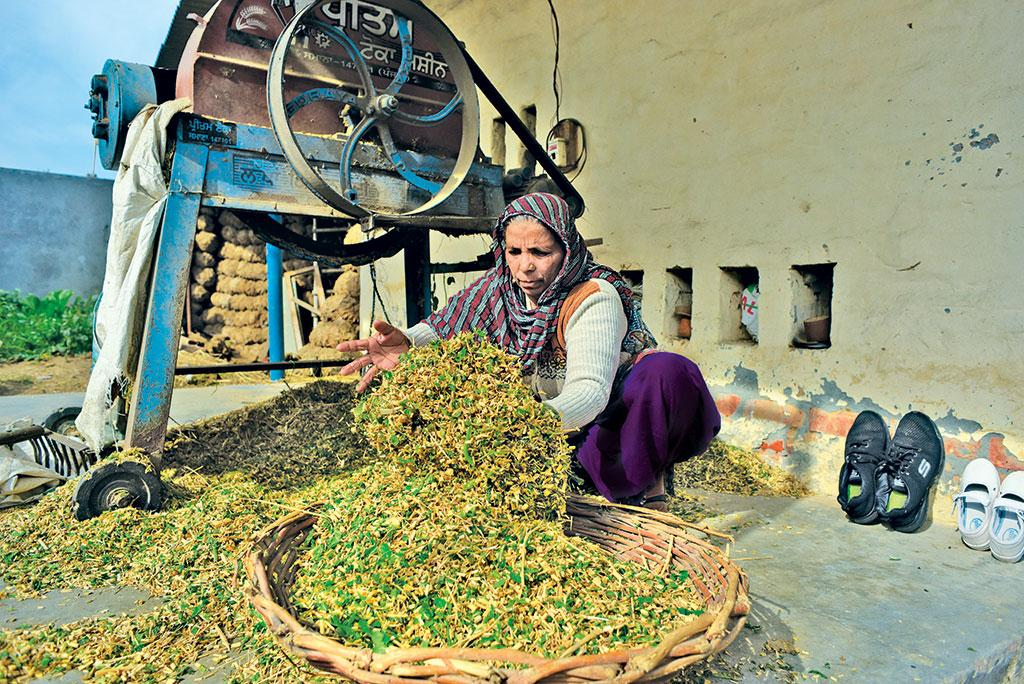 Sindherpal Kaur of Bharo village processes green fodder from the common land that the marginalised got for cultivation after joint bidding