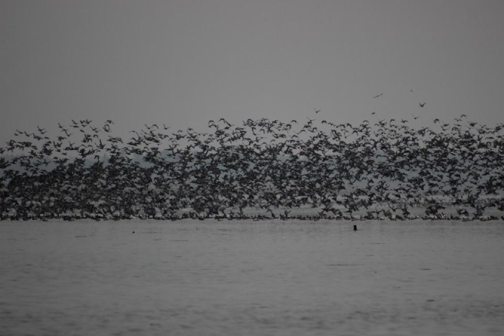 Chilika lies in the Central Asian Flyway for birds and is a major stopover site for migratory birds from the arctic and sub-arctic during their migration along the east coast