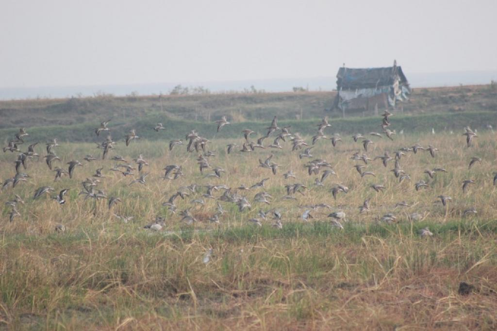 This winter, around 10,21,563 bird species arrived at Chilika, says Dr S Balachandran, a noted ornithologist and the deputy director of Bombay Natural History Society (BNHS)
