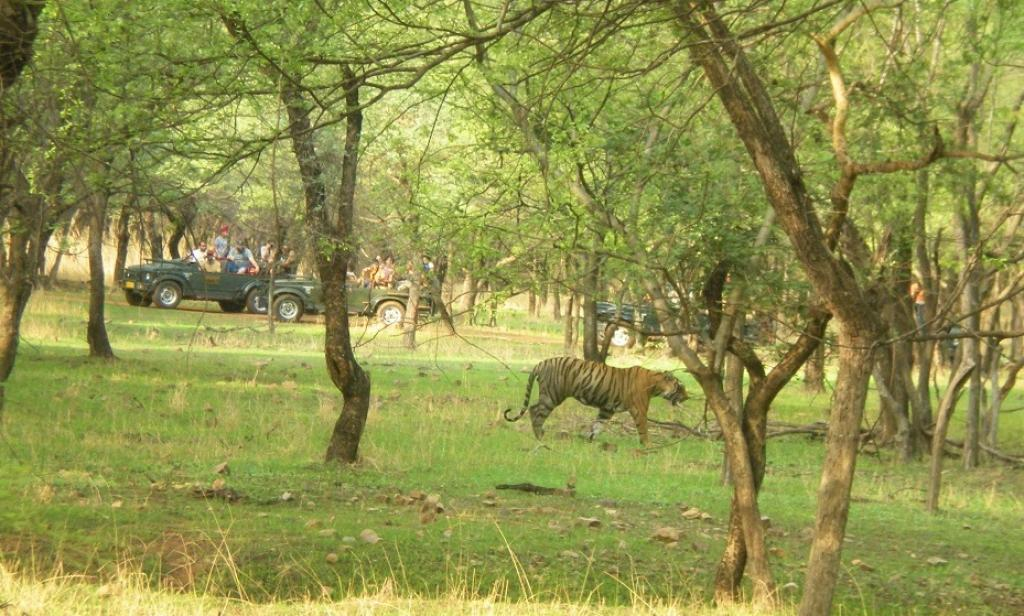Pacman, one of the most sighted tigers in Ranthambore strolling in front of tourist jeeps. Credit: Chaitanya Chandan
