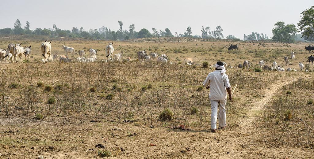 उत्तर प्रदेश के लखीमपुर खीरी जिले के निजामपुर गांव  में आवारा मवेशियों की संख्या बेतहाशा बढ़ गई है