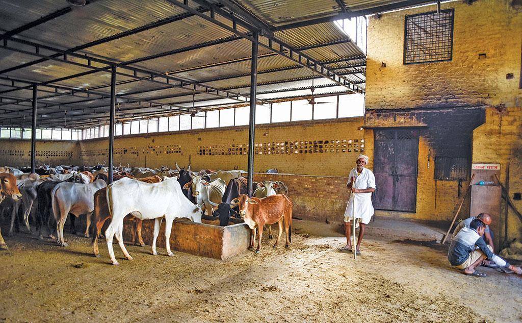 मेवात के फिरोजपुर झिरका की आधुनिक गोशाला, जहां  आवारा मवेशियों को  छोड़ा जा रहा है