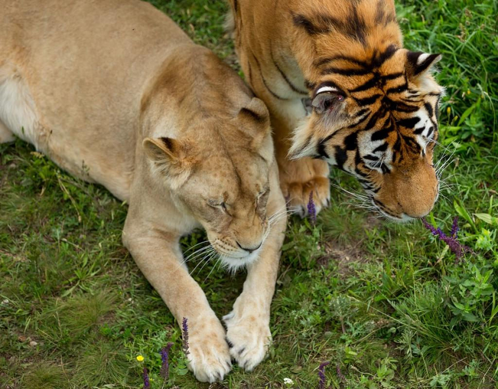 A lioness and a tigress. Credit: Getty Images