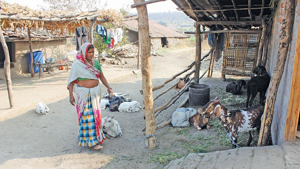 Sharda Bai of Ghodakhurd village in Madhya Pradesh received Rs 300 per month for a year under India's pilot on Universal Basic Income programme.  She used the money to buy goats (Photo: Manish Chandra Mishra)