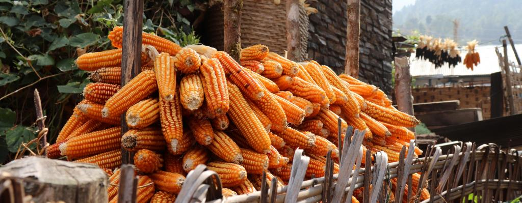 Govt's plan to import maize may hurt farmers