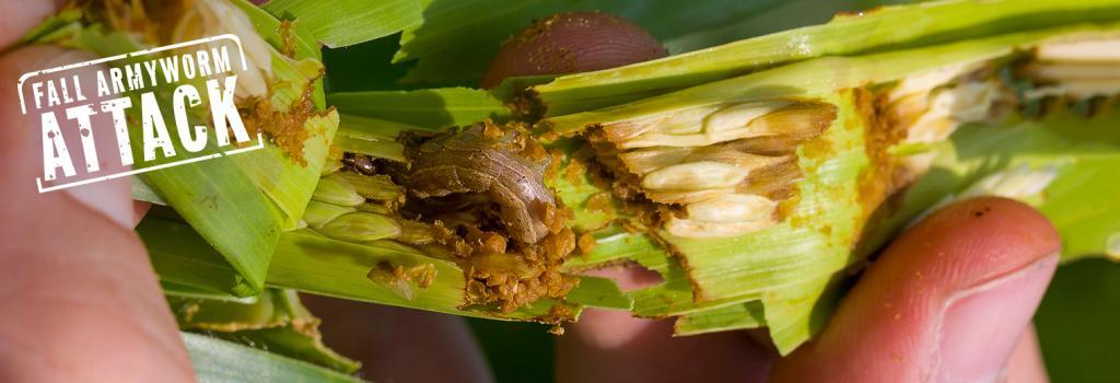 Fall armyworm attack