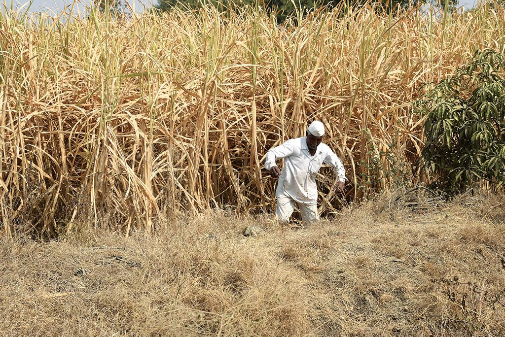 Sugarcane accounts for 4 per cent of the total cultivable land in Maharashtra but consumes 70 per cent of the water meant for irrigation