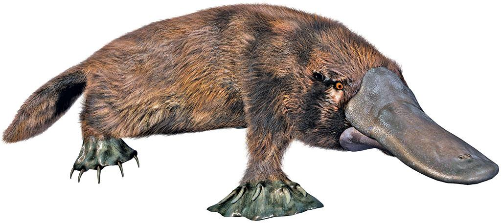 The duck billed platypus has five pairs of sex determining chromosomes