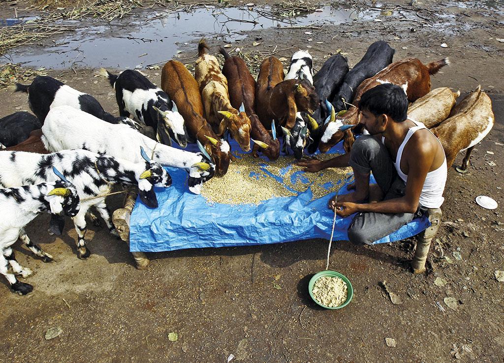 इंडियन ग्रासलैंड ऐंड फॉडर रिसर्च के अनुसार भारत में चारे की कमी का आंकड़ा 50.2 प्रतिशत है  (फोटो: रॉयटर्स )