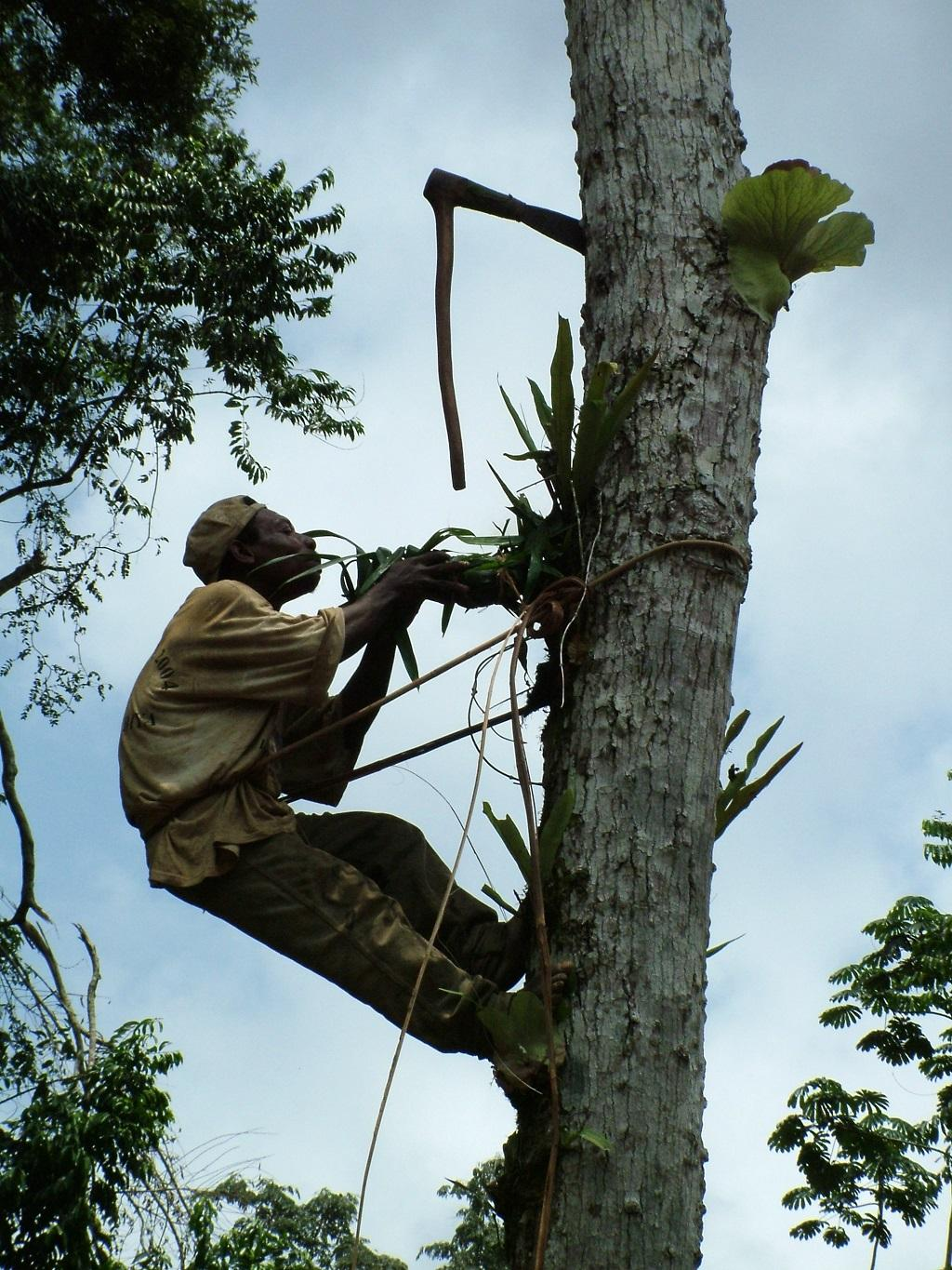 A Baka man collecting honey from a tree in Cameroon. Credit: Getty Images
