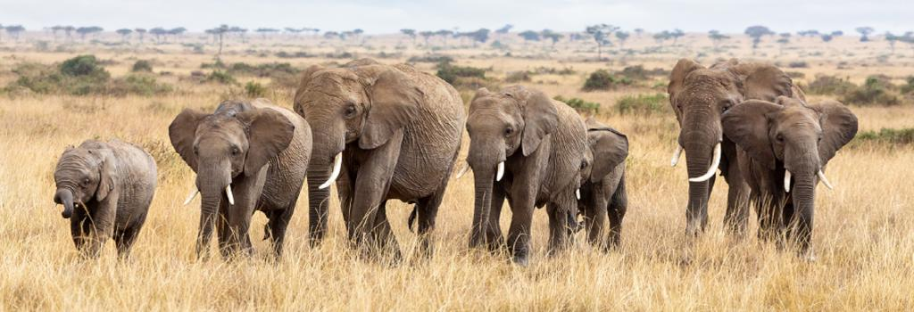An elephant herd in the Masai Mara. Photo: Getty Images