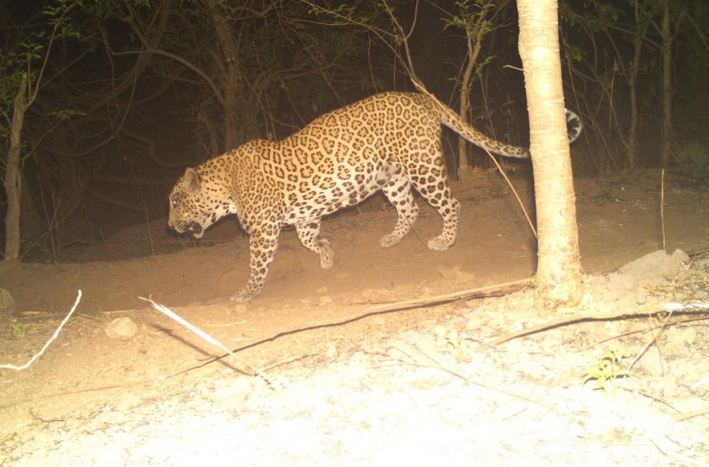 A leopard camera trapped in the Sanjay Gandhi National Park, Mumbai. Photo: Nikit Surve