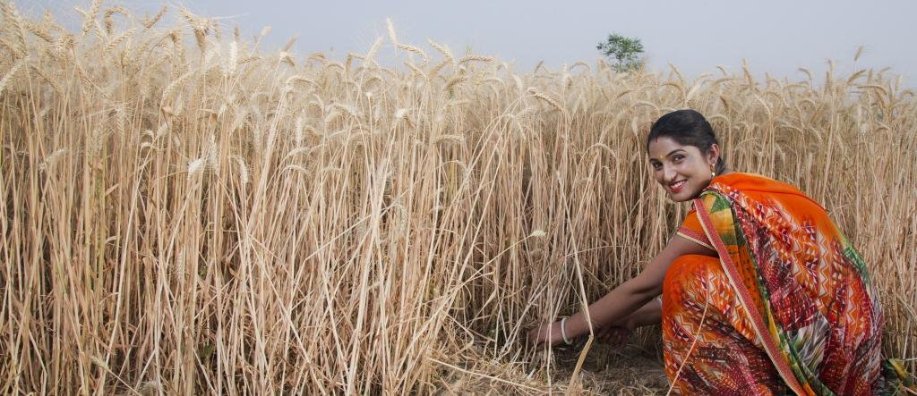A female farmer harvesting wheat. Photo: Getty Images