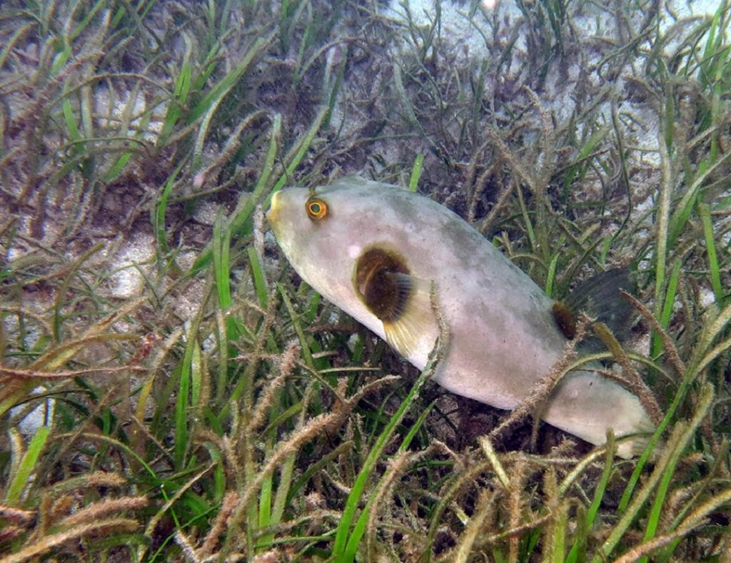Tape seagrass, which is recorded throughout the Indo-Pacific region can grow up to 150 cm. It provides refuge and acts as a feeding area for more than 1,000 species of fish, including this pufferfish. Photo: Vardhan Patankar/WCS-India