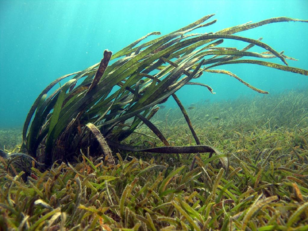 A mixed meadow. The researchers recommend that extensive surveys should be carried out in all potential seagrass meadows of the Andaman & Nicobar Archipelago to understand the phenology of all 11 seagrass species. Photo: Vardhan Patankar/WCS-India