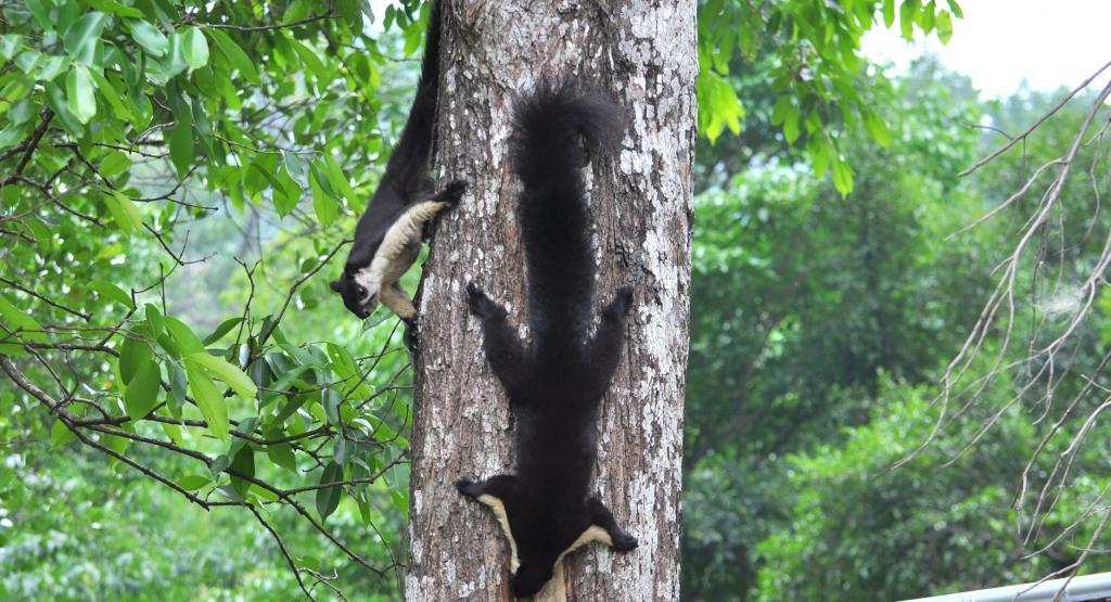 A pair of Malayan Giant Squirrels. Photo: Murali Krishna Chatakonda