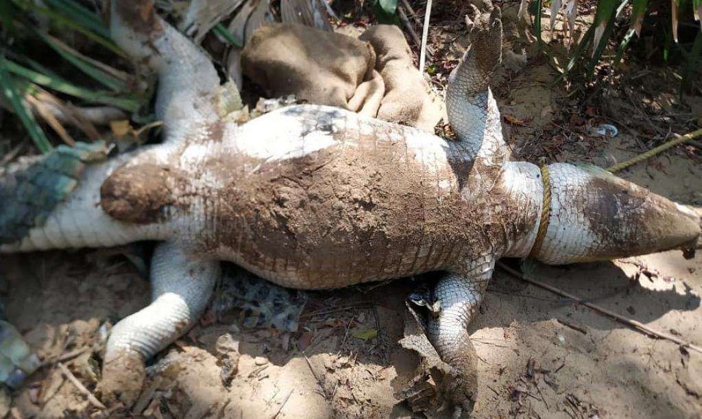 The photo of the dead female Cuban Crocodile posted on the Facebook page of the Madras Crocodile Bank.