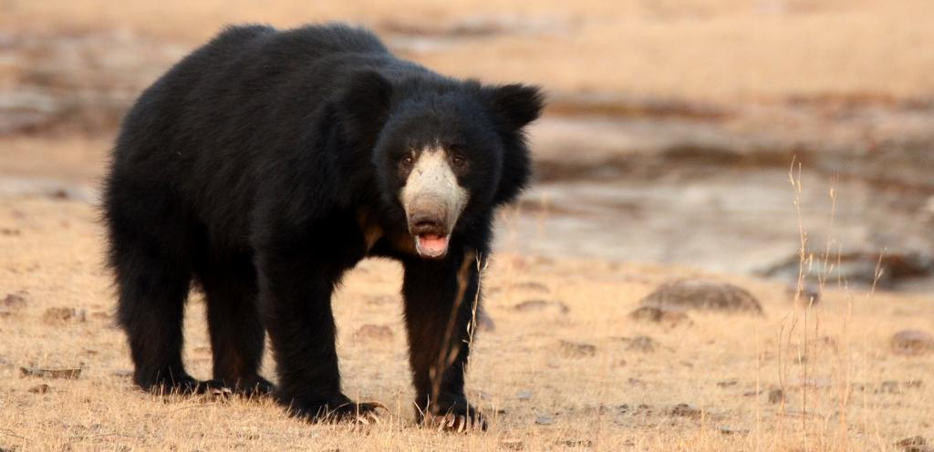 A Sloth Bear in Ranthambhore. Photo: Wikimedia Commons
