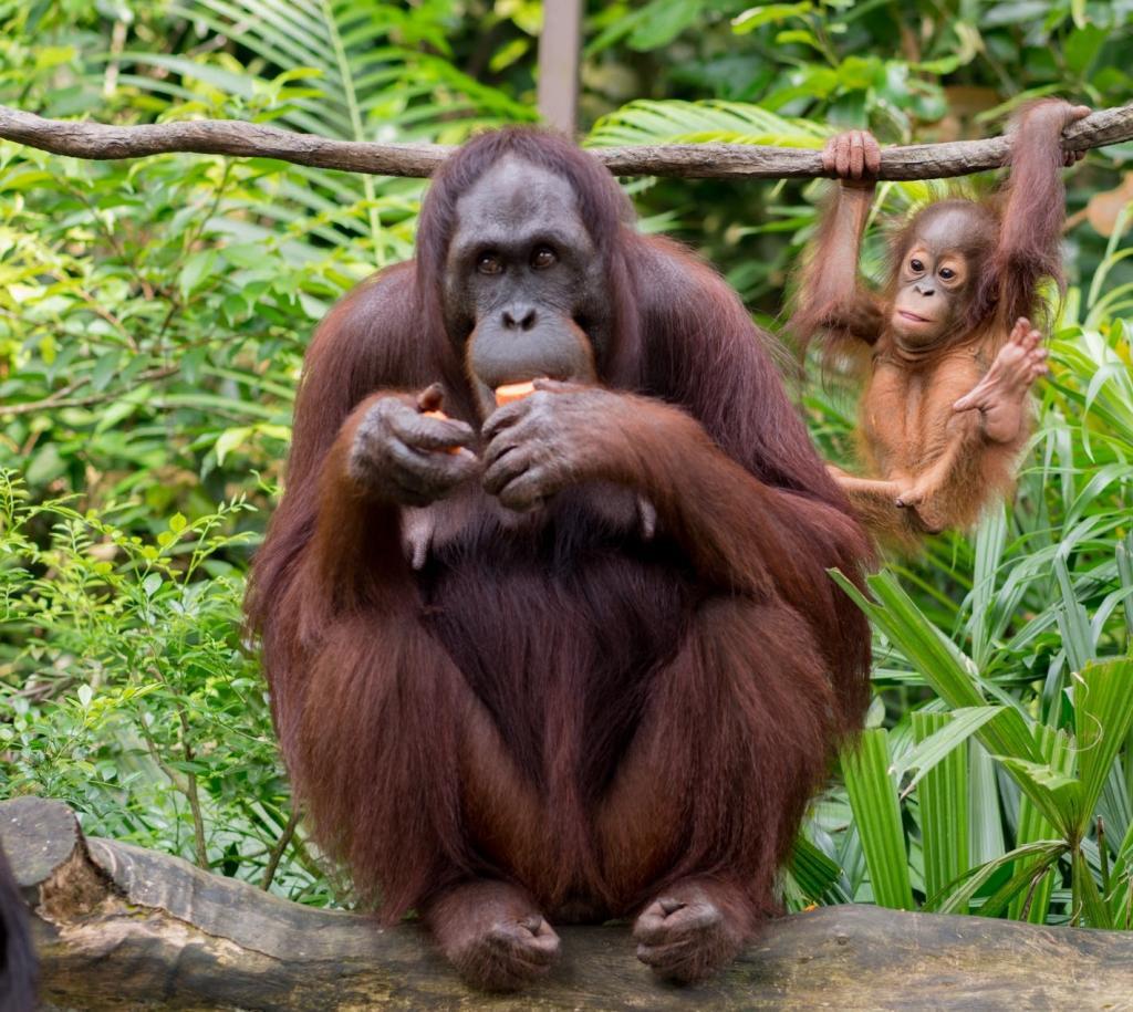 A female orangutan with an infant. Photo: Wikimedia Commons