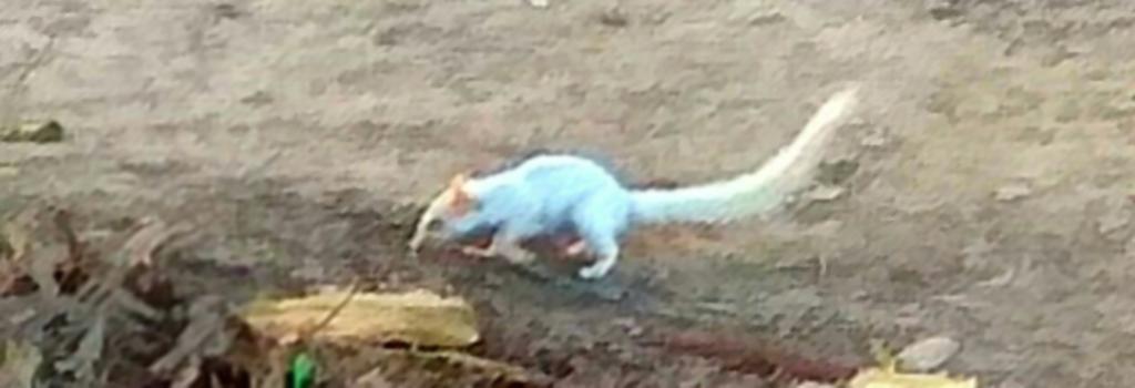 The leucistic squirrel photographed by Ramesh Singh Yadav.
